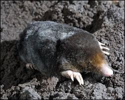 Moles digging holes in yard