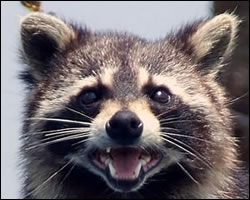 raccoon problems Lorain