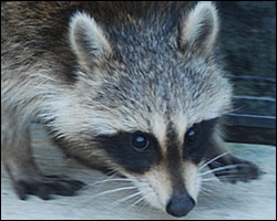 Removal of raccoons