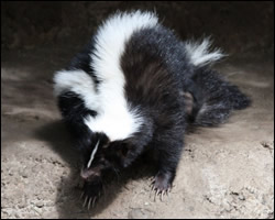 Skunk odor spray removal