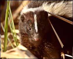 how to get rid of a skunk under my shed