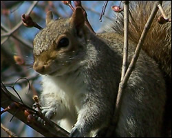 Utica Squirrel Control