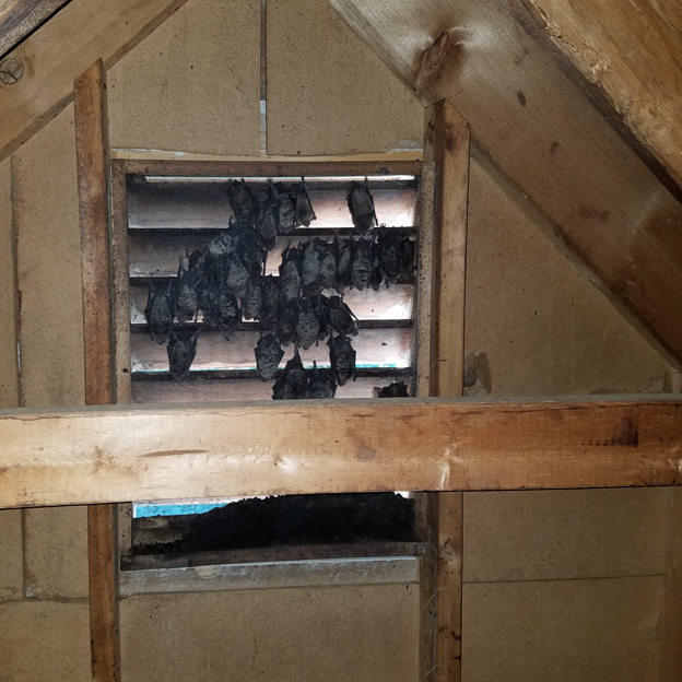 Bats in the Attic and Home