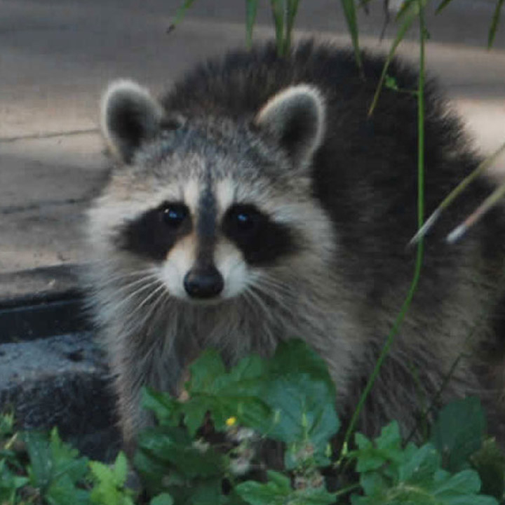 Raccoon Removal and Trapping