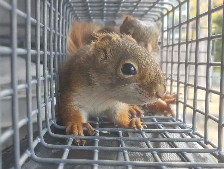 squirrels-in-attic